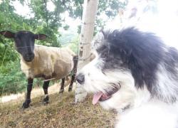 Cara mouton1