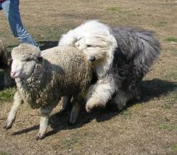 Greystoke herding