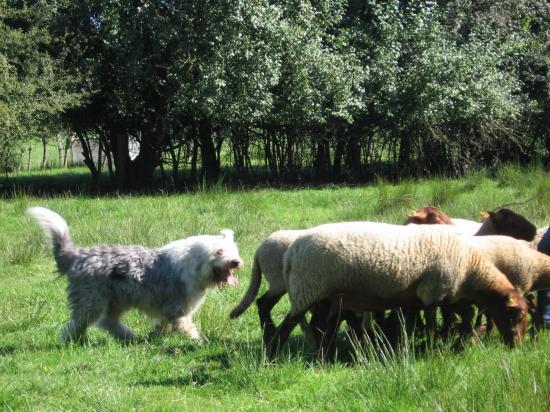 Herding oes