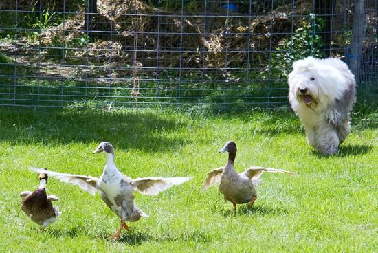 Oes ducks